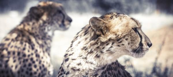 Cheetah Conservation Fund – Image 6 / 13 © Thomas Kettner, Hamburg, http://thomaskettner.com