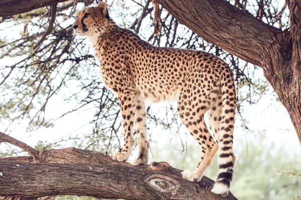 Cheetah Conservation Fund – Image 12 / 13 © Thomas Kettner, Hamburg, http://thomaskettner.com