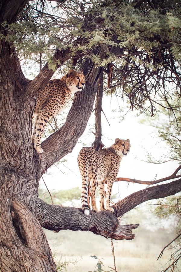 Cheetah Conservation Fund – Image 4 / 13 © Thomas Kettner, Hamburg, http://thomaskettner.com