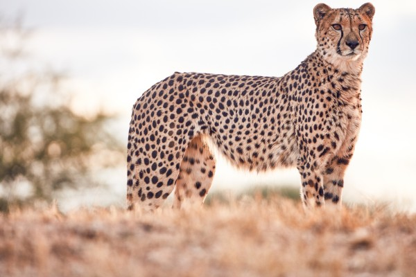 Cheetah Conservation Fund – Image 5 / 13 © Thomas Kettner, Hamburg, http://thomaskettner.com
