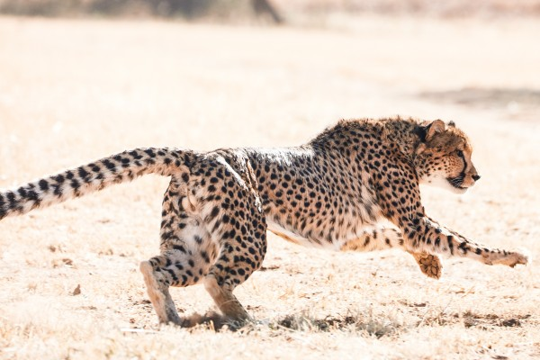 Cheetah Conservation Fund – Image 2 / 13 © Thomas Kettner, Hamburg, http://thomaskettner.com