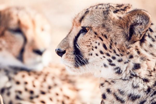 Cheetah Conservation Fund – Image 9 / 13 © Thomas Kettner, Hamburg, http://thomaskettner.com
